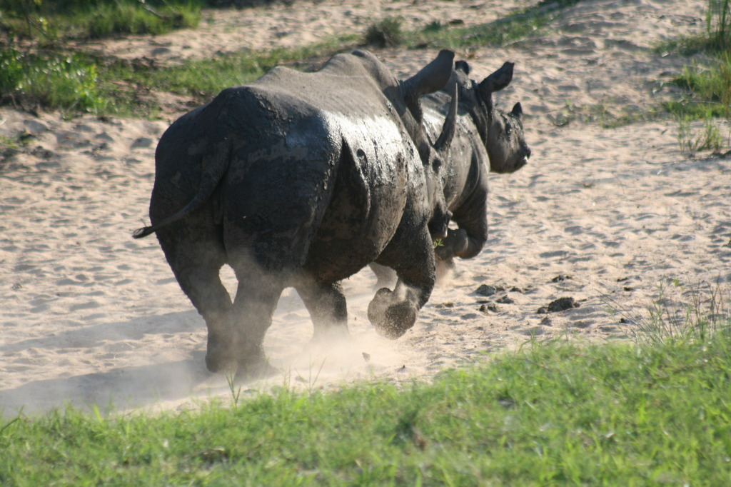 Rhinos on the run