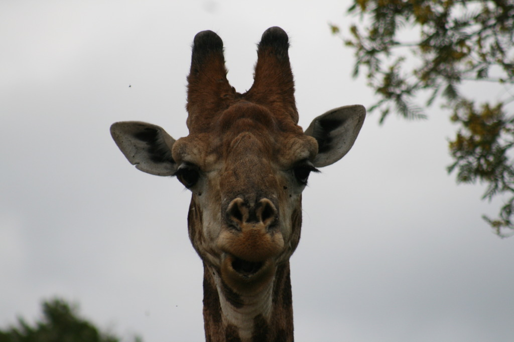 The Stately Giraffe, Runway Model in the Animal Kingdom