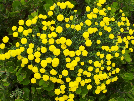 "The ""delicate bush"". Such a vibrant yellow!"