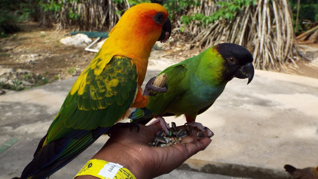 Friendly birds in the aviary at Turtle River Falls and Gardens in Ocho Rios, St. Ann